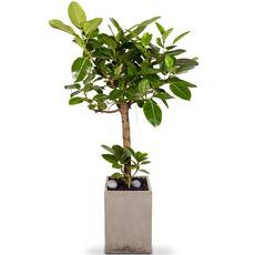 n뱅갈고무나무