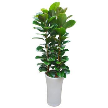 고무나무D